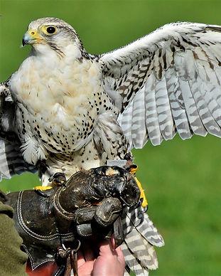 falcon-4052676_960_720.jpg