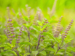 All About Sacred Plant And Holy basil 'Tulsi'