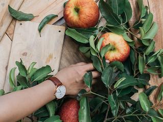 Výběr a výsadba jabloní