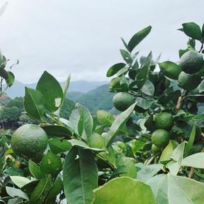 雨直前までのブシュカン収穫。