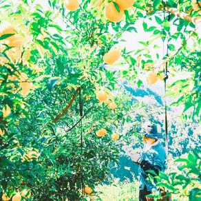柚子の収穫のリアル。
