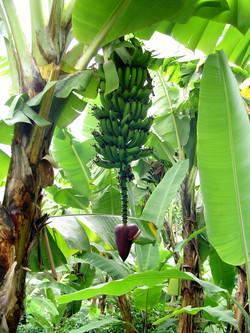 Banana Tree (2)