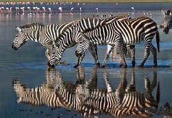 Zebra_Tanzania_photo_tour_boyd_norton