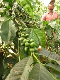 coffee-seed-plant