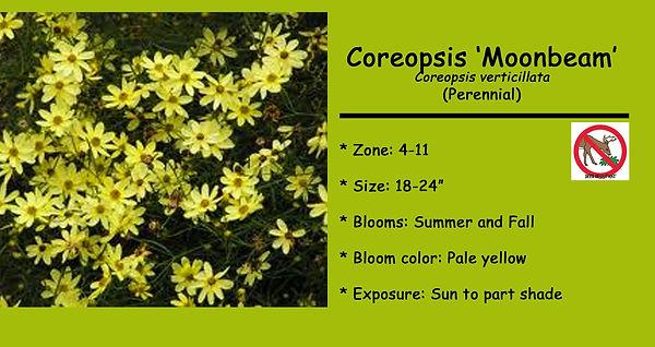 Coreopsis Moonbeam psd.jpg