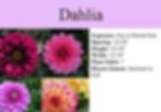 Dahlia.jpg