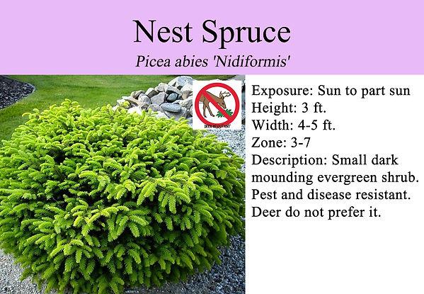 Picea abies 'Nidiformis', Bird's Nest Sp