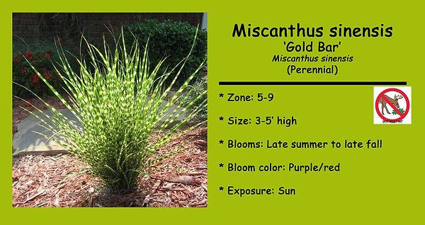 Miscanthus sinensis _Gold Bar.jpg