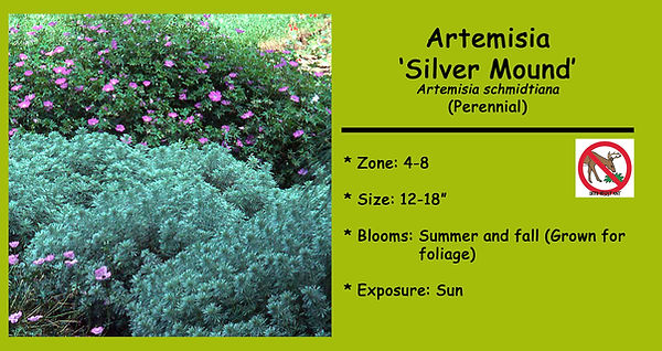 Artemisia _Silver Mound.jpg
