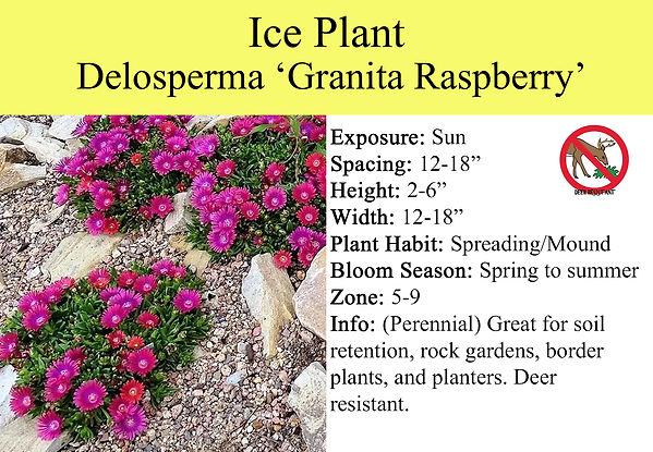 Delosperma,Granita Raspberry.jpg