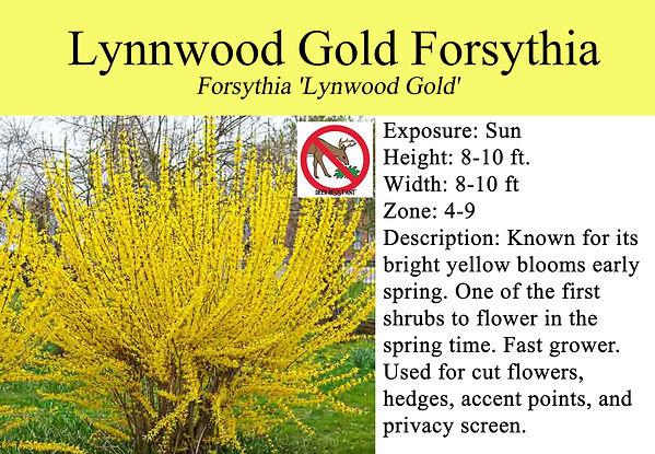 Forsythia 'Lynwood Gold', Lynnwood Gold