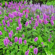 Stachys officinalis Purple Betony.jpg