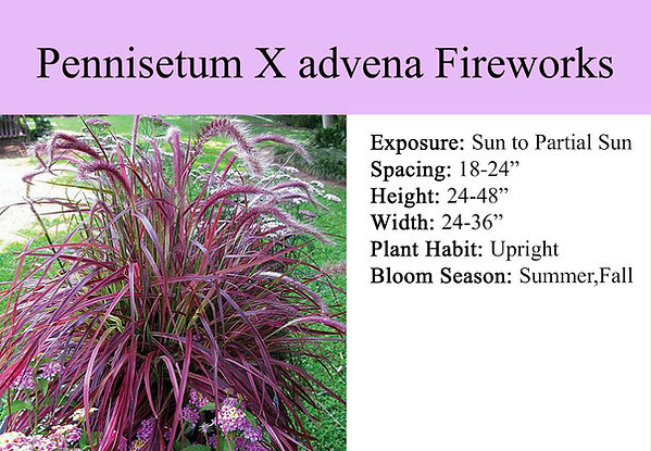 Pennisetum X advena Fireworks.jpg