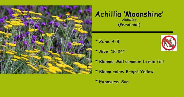 Achillea Moonshine.jpg