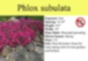 Phlox subulata, Scarlet Flame.jpg
