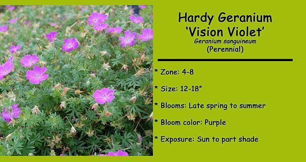 Geranium (Hardy) _Vision Violet.jpg