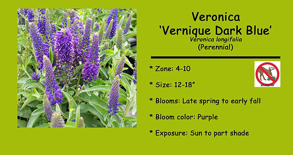 Veronica Verniqe Dark Blue.jpg