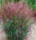 Panicum virgatum Shenandoah.webp