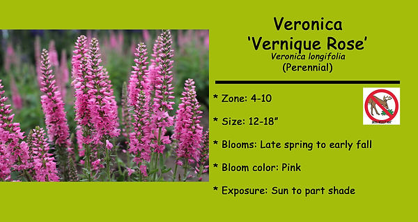 Veronica Verique Rose.jpg