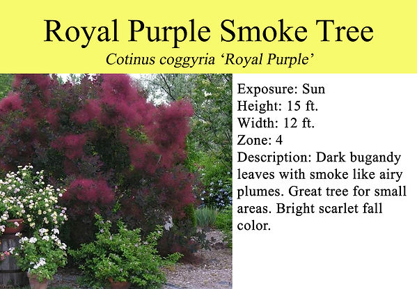Cotinus coggygria 'Royal Purple', Royal