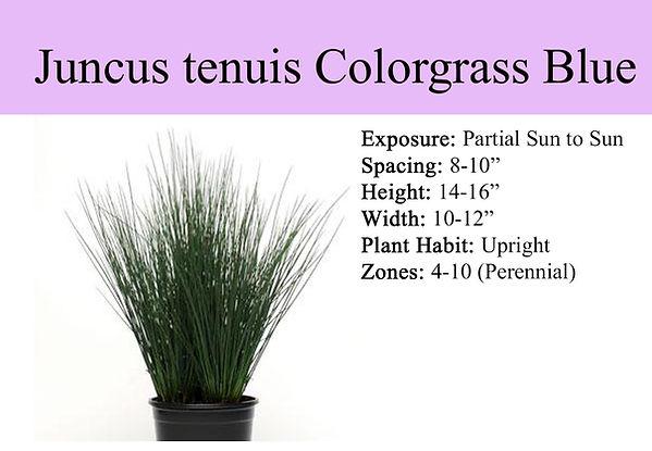 Juncus tenuis Colorgrass Blue Dart.jpg