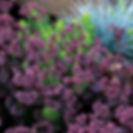 Sedum Sunsparkler Cherry Tart.jpg
