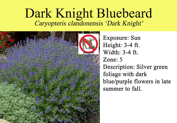 Caryopteris x c. 'Dark Knight', Dark Kni