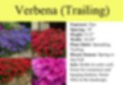 Verbena (Trailing).jpg