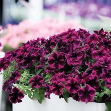 Petunia Crazytunia Cosmic Purple.jpg