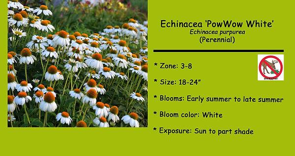 Echinacea, PowWow White.jpg