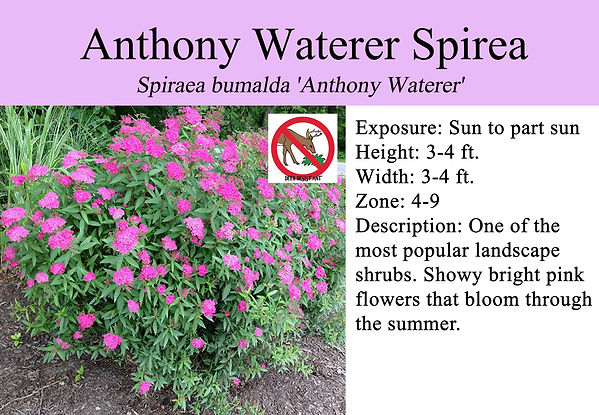 Spiraea bumalda 'Anthony Waterer', Antho