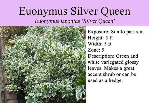 Euonymus japonica 'Silver Queen', Silver