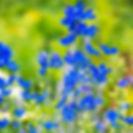 Delphinium, Diamonds Blue.jpg