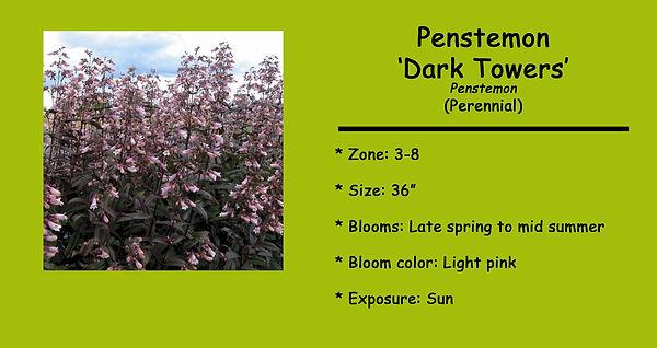 Penstemon Dark Towers.jpg