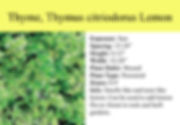 Thyme, Thymus citriodorus Lemon.jpg