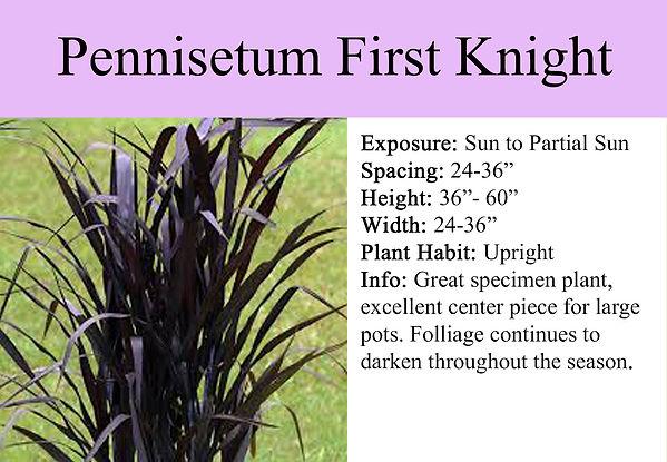 Pennisetum First Knight.jpg