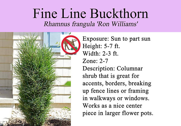 Rhamnus frangula 'Ron Williams' PW, Fine