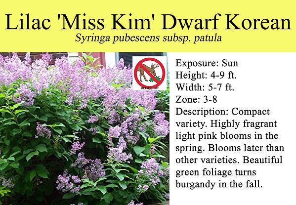 Syringa Lilac 'Miss Kim' Dwarf Korean.jp
