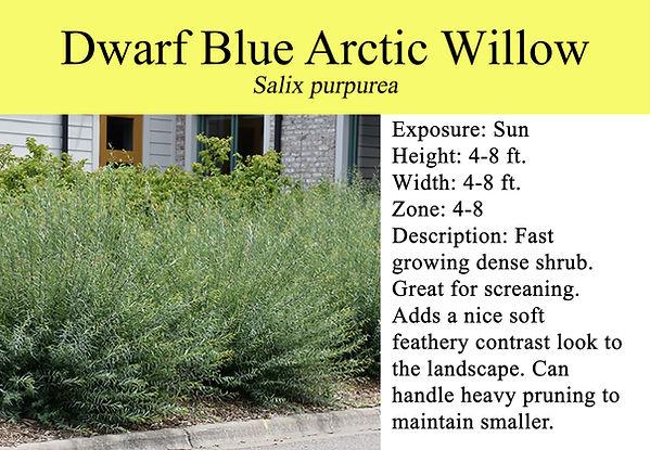 Salix purpurea, Dwarf Blue Arctic Willow