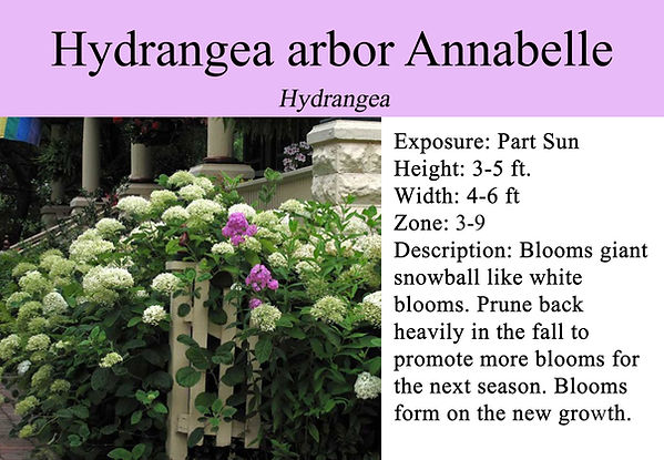 Hydrangea arbor Annabelle.jpg