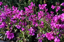 Arabis Blep Rose Delight.jpg