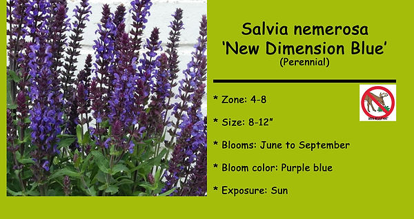 Salvia nemerosa _New Dimension Blue.jpg