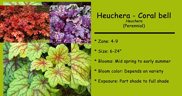 Heuchera coral bell species.jpg