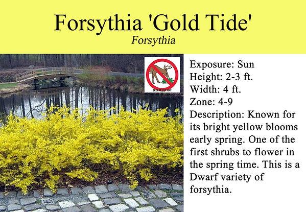 Forsythia 'Gold Tide'.jpg