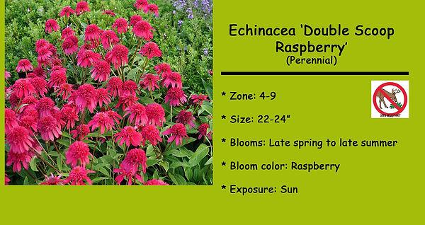Echinacea, Double Scoop Raspberry.jpg