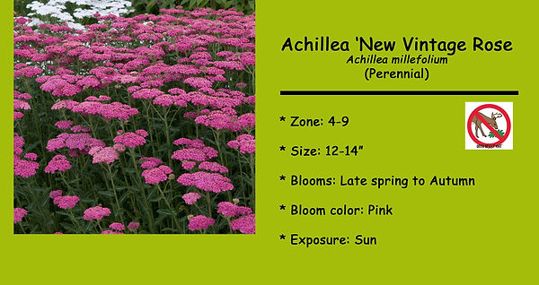 Achillea, New Vintage Rose.jpg