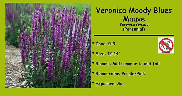 Veronica Moody Blues Mauve.jpg