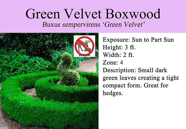 Buxus x 'Green Velvet', Green Velvet Box