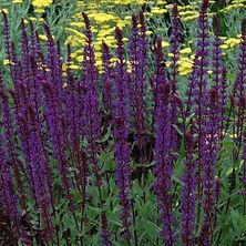 Salvia nemerosa Caradonna.jpg
