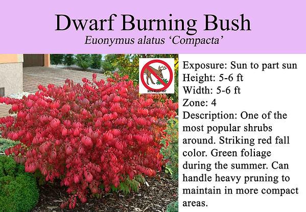 Euonymus alatus 'Compacta', Dwarf Burnin
